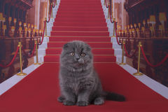 Small Scottish Fold kitten on red carpet Royalty Free Stock Photos