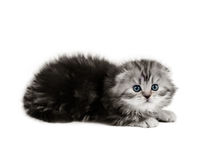 Small scottish fold kitten Royalty Free Stock Photography