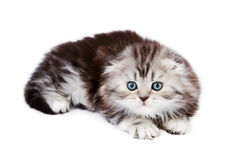 Small scottish fold kitten Royalty Free Stock Photo
