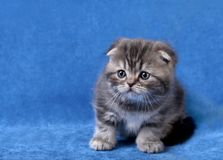 Small scottish fold kitten royalty free stock image
