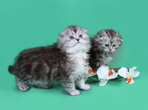 Small scottish fold kittens stock images
