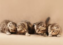 Small scottish fold kittens stock photography