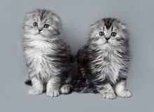 Small scottish fold kittens royalty free stock photo