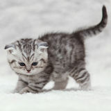 Small scottish fold kitty posing on white background Stock Image