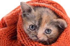 Small Scottish kitten Stock Image