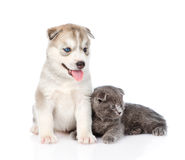 Small scottish kitten and Siberian Husky puppy together. isolated on white Royalty Free Stock Photos