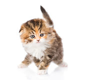 Small scottish kitten standing in front. isolated on white Royalty Free Stock Photos