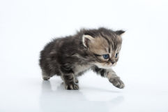 Small Scottish straight kitten walking towards Stock Image