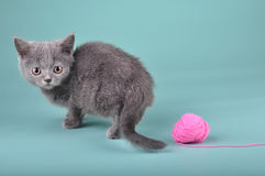 Small Scottish straight kitten with a woolball Stock Photos