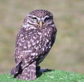 Small screech owl Stock Photo