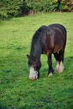 Horse, pony, taking an apple from the ground. A small scruffy brown horse, picking up an apple from the grass in an English meadow royalty free stock image