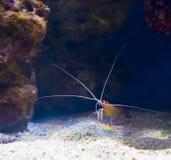 Small sea crayfish with long antenna at the bottom hiding under some rocks. A small sea crayfish with long antenna at the bottom hiding under some rocks stock photos