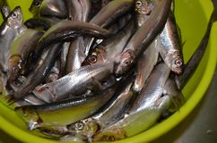 Small sea dietary fish sprat in a green colander stock photography