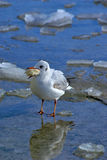 Small sea gull with piece of bread at the beak. Standing on pier at winter Royalty Free Stock Photos