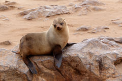 Small sea lion - Brown fur seal in Cape Cross, Namibia Royalty Free Stock Photography