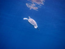 Sea turtle get air Royalty Free Stock Photography