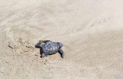 A small sea turtle crawling along the sandy beach towards the ocean to survive stock photos