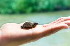 Small sea turtle Royalty Free Stock Image