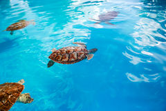 Small sea turtle. Cuba. Royalty Free Stock Images