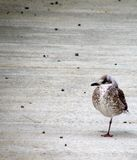 Small seagull with only one leg. stock image