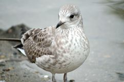 Small seagull standing beside pond shore in summer Stock Photography