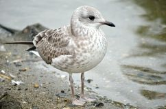 Small seagull standing beside pond shore in summer Stock Image
