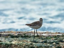 A small seagull walks along the shallows on the shores of  the Mediterranean sea in search of prey. A small seagull walks along the shallows on the shores of the Royalty Free Stock Photos