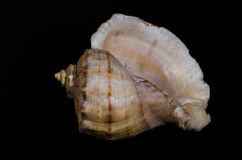 Small seasnail shell isolated on black Royalty Free Stock Image