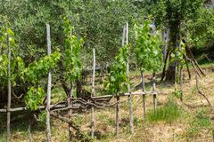 Small section of grapevine. In amongst an olive grove in the village of Benabbio in the region of Tuscany, Italy stock photo