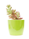 Small sedum (stonecrop) Stock Photo