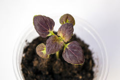 Small seedling of coleus Black Dragon. With dark brown foliage growing in pot, beautiful garden annual plant with decorative leaves Stock Images