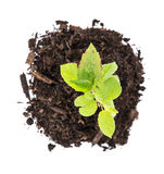 Small Seedling (top view) Royalty Free Stock Photo