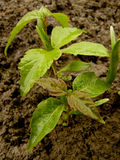 Small seedlings of ash leaved maple Royalty Free Stock Image
