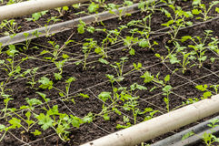 Small seedlings in a modern plant nursery Royalty Free Stock Photo