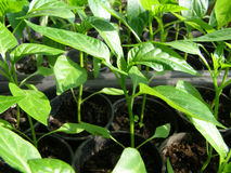 Small seedlings of peppers Royalty Free Stock Images