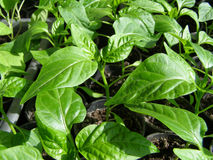Small seedlings of peppers Stock Images