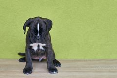Small serious black with white spot on nose bridge Boxer puppy on green background. Royalty Free Stock Photography