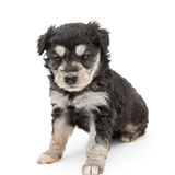 Small and serious puppy Terrier Royalty Free Stock Images
