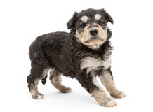 Small and serious puppy Terrier Stock Images