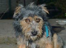 Small shaggy dog 2 Royalty Free Stock Photography