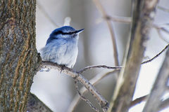 Small shaggy nuthatch sitting on a branch Stock Photos