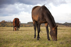 Small shaggy ponies Royalty Free Stock Photos