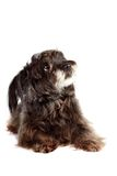 Small shaggy ridiculous mongrel Royalty Free Stock Image