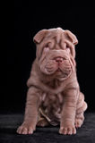 Small Shar-Pei Puppy Stock Images