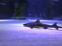 Small shark in the deep blue water. Ocean royalty free stock image