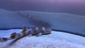 Small shark Scyliorhinus canicula stock video footage