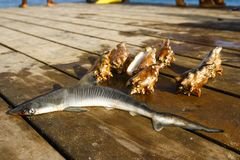 Small shark and sea conch. Laying on a wooden pier royalty free stock photography