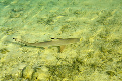Small shark in the sea - Maledives. Sea life shark in the water royalty free stock photo