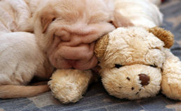 Small sharpei puppy sleeping. 2 months old sharpei puppy sleeping on a sharpei toy Stock Photography