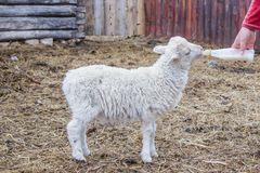 Small sheep drinks milk from a bottle royalty free stock photo